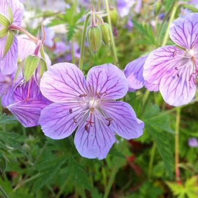 Geranium pratense 'Ilja' -