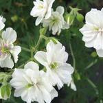 Ooievaarsbek - Geranium pratense 'Plenum Album'