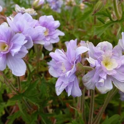 Geranium pratense 'Summer Skies' - Ooievaarsbek - Geranium pratense 'Summer Skies'