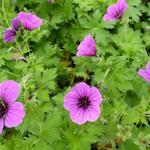 Geranium psilostemon 'Bressingham Flair' - Geranium psilostemon 'Bressingham Flair' - Ooievaarsbek