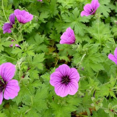 Geranium psilostemon 'Bressingham Flair' -