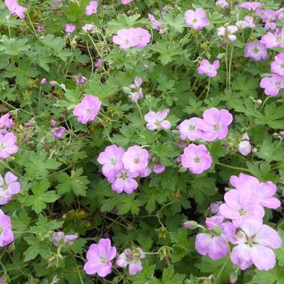 Geranium x riversleaianum  'Mavis Simpson' -
