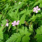 Geranium robertianum - Robertskruid - Geranium robertianum