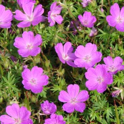Geranium sanguineum 'Aviemore' -