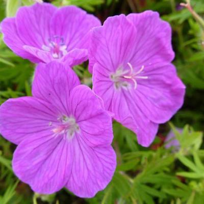 Geranium sanguineum 'Cedric Morris' -