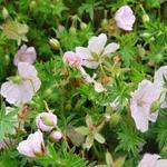 Ooievaarsbek - Geranium sanguineum 'Compactum'