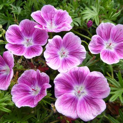 Geranium sanguineum 'Elke' - Ooievaarsbek - Geranium sanguineum 'Elke'