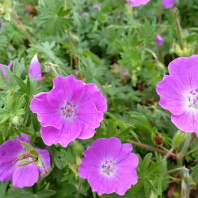 Geranium sanguineum 'Elsbeth' -