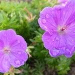 Geranium sanguineum 'Glenluce - Geranium sanguineum 'Glenluce - Ooievaarsbek