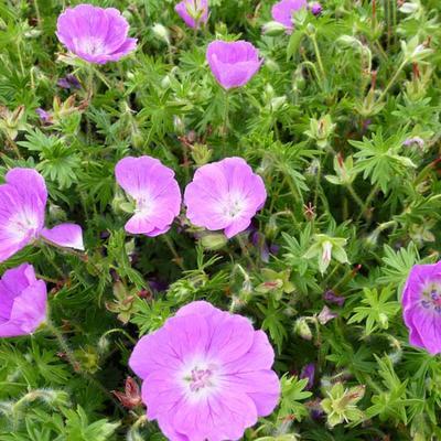 Geranium sanguineum 'Inverness' -