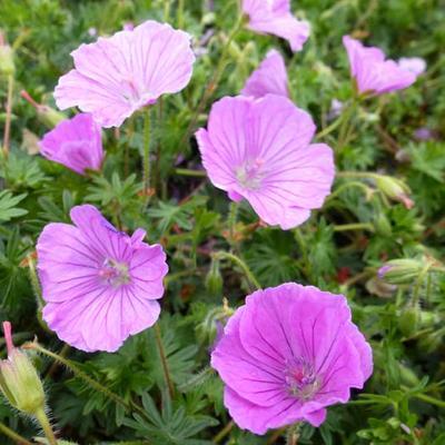 Geranium sanguineum 'John Innes' -