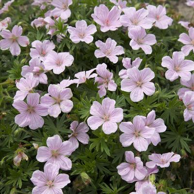 Geranium sanguineum 'Pink Pouffe' -