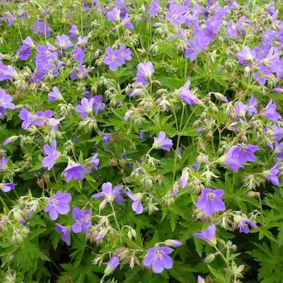 Geranium sylvaticum 'Birch Lilac' -