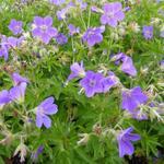 Geranium sylvaticum 'Mayflower' - Ooievaarsbek - Geranium sylvaticum 'Mayflower'