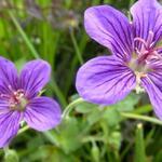 Geranium wlassovianum - Ooievaarsbek - Geranium wlassovianum