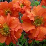 Geum chiloense 'Dolly North' - Nagelkruid