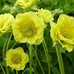 Geum COCKTAIL 'Banana Daiquiri' - Nagelkruid
