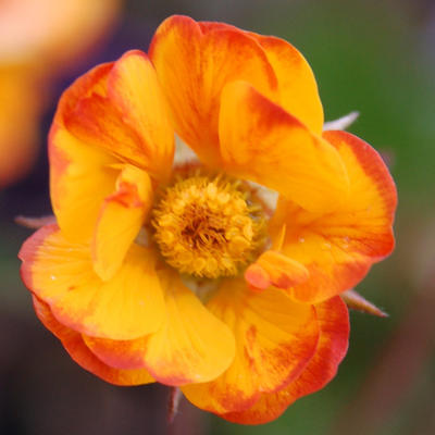 Geum COCKTAIL 'Spanish Fly' -