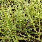 Glyceria maxima 'Variegata' - Liesgras - Glyceria maxima 'Variegata'
