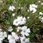 Gypsophila repens 'Alba' - Kruipend gipskruid - Gypsophila repens 'Alba'