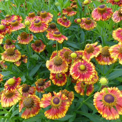 Helenium 'Can Can' -