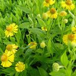 Helenium 'Gold Doubloons' - Zonnekruid
