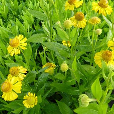 Helenium 'Gold Doubloons' -