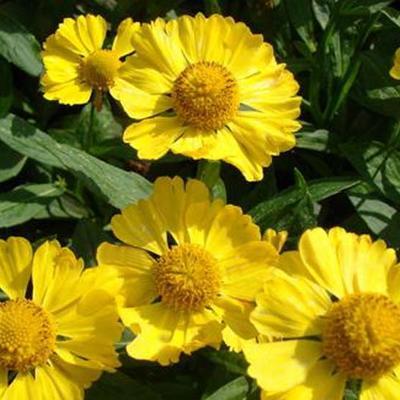 Helenium autumnale HELENA 'Gold' -