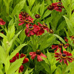Helenium 'Potter's Wheel' - Zonnekruid