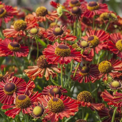 Helenium autumnale MARIACHI 'Ranchera' -