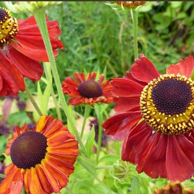 Helenium 'Red Army' -
