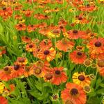 Helenium 'Sahin's Early Flowerer' - Zonnekruid