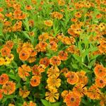 Zonnekruid - Helenium 'Waltraut'