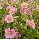 Helianthemum 'Lawrenson's Pink' - Zonneroosje - Helianthemum 'Lawrenson's Pink'