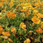 Helianthemum 'Orange Double' - Zonneroosje
