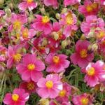 Helianthemum 'Raspberry Ripple' - Zonneroosje