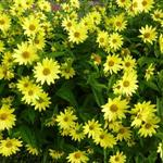 Helianthus 'Lemon Queen' - Zonnebloem - Helianthus 'Lemon Queen'