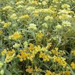 Helichrysum 'Schwefellicht' - Siberische edelweiss - Helichrysum 'Schwefellicht'