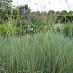 Sierhaver - Helictotrichon sempervirens 'Saphirsprudel'