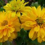 Zonneogen - Heliopsis helianthoides 'Summer Sun'