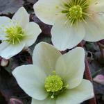 Helleborus x nigercors 'Emma' - Nieskruid - Helleborus x nigercors 'Emma'