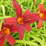 Hemerocallis 'Crimson Pirate' - Daglelie