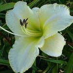 Hemerocallis 'Hazel Monette' - Hemerocallis 'Hazel Monette' - Daglelie