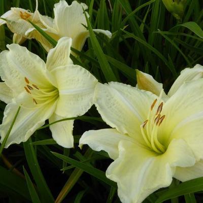 Hemerocallis 'Joan Senior' -