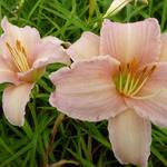 Hemerocallis 'Luxury Lace' - Daglelie
