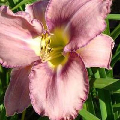 Hemerocallis 'Mildred Mitchell' -