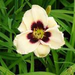 Hemerocallis 'Piano Man' - Daglelie