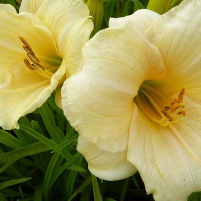 Hemerocallis 'Precious d'Oro' -