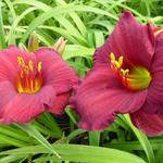 Hemerocallis 'Regency Dandy' - Daglelie - Hemerocallis 'Regency Dandy'