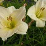 Hemerocallis 'Snowy Apparition'  - Daglelie